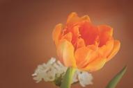 tulip-1290351_1280